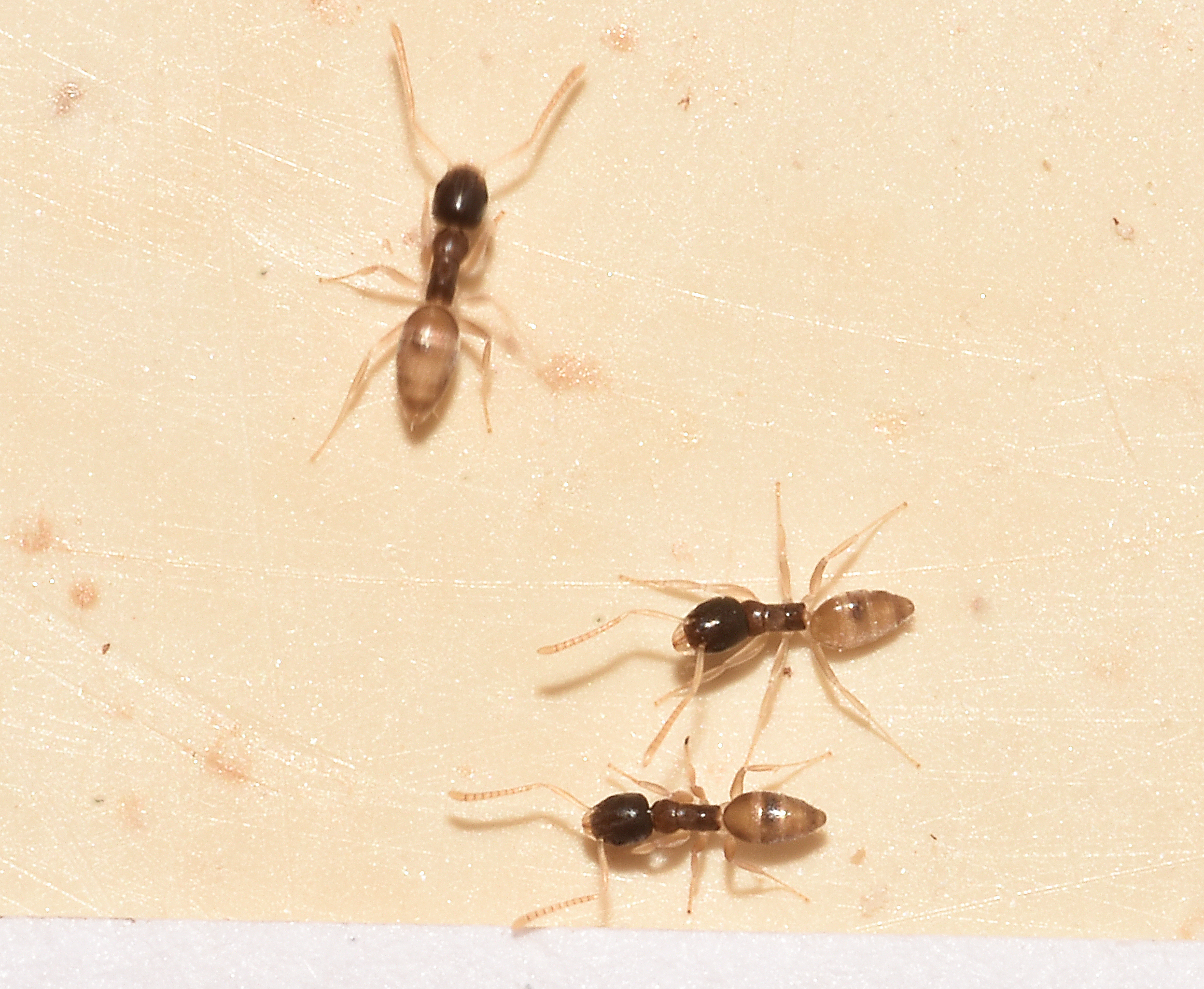 Small Ants In Bathroom Winter Small Black Ants In