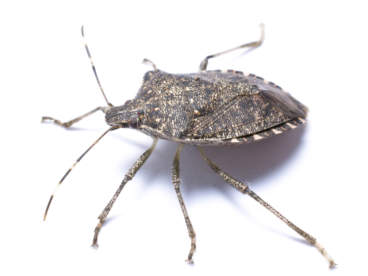 https://i2.wp.com/www.pestworld.org/media/561857/brown-marmorated-stink-bug-from-side-white.jpg