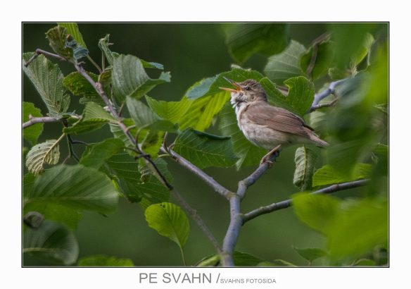 busksångare-DSC_0406-PE Svahn-11062017