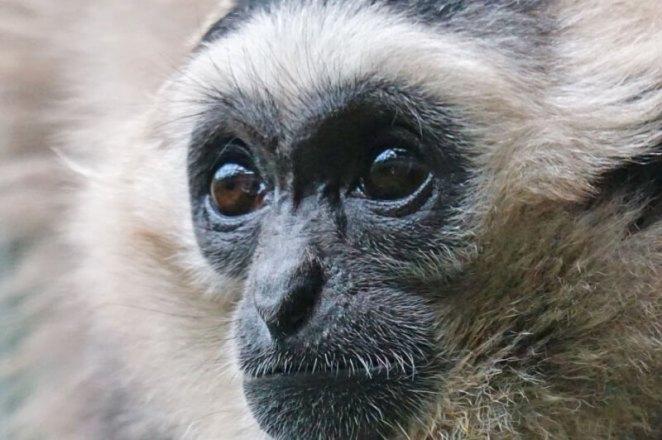 Black Caps Gibbon