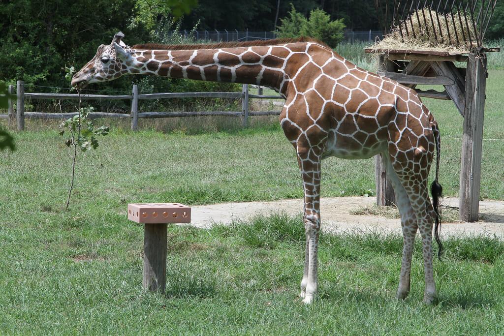 giraffe-in-zoo
