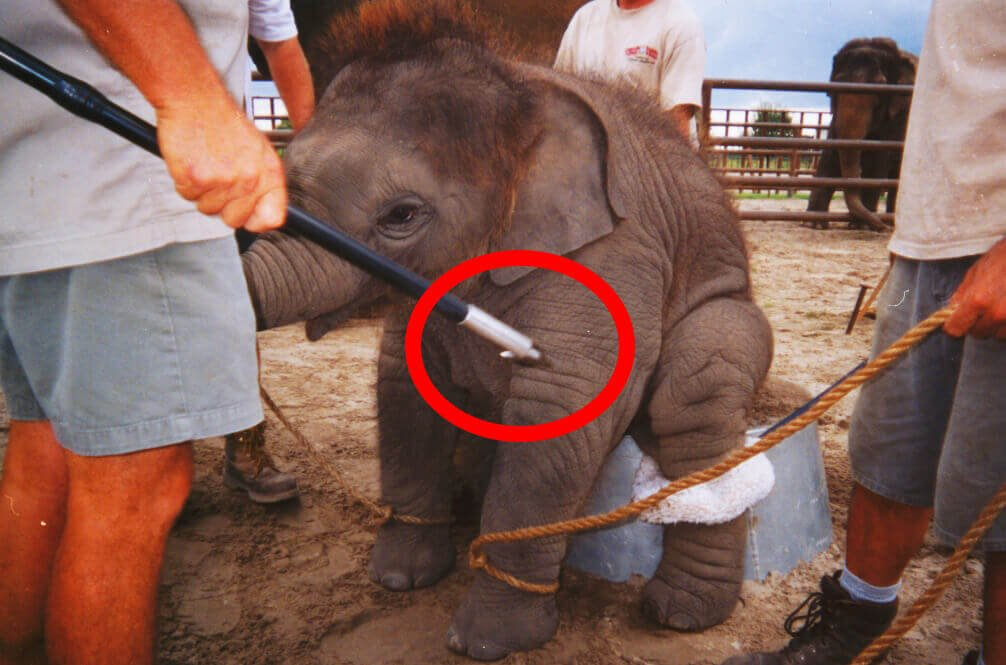 Baby Elephant Training Photo With Circled Bullhook