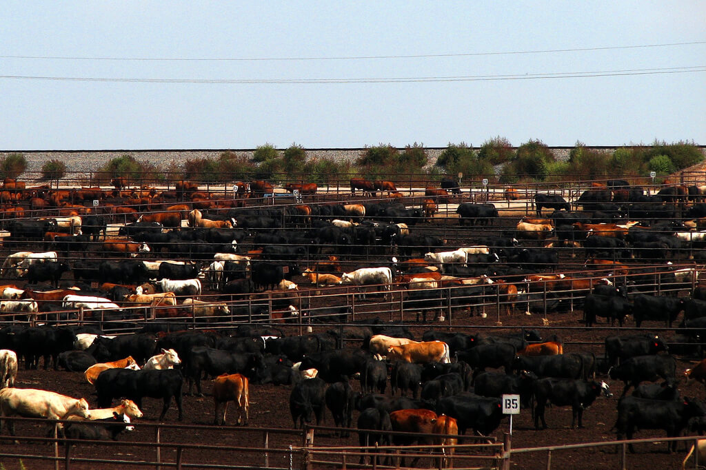 Cows on Feedlot