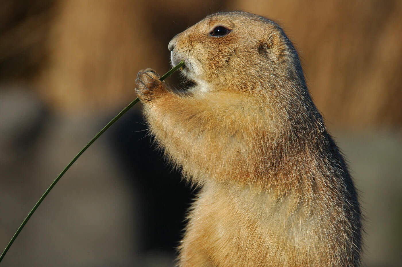 cute-prairie-dog