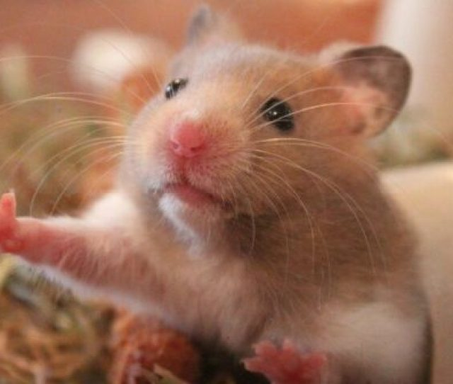 Facts You Need To Know Before Considering A Pet Hamster