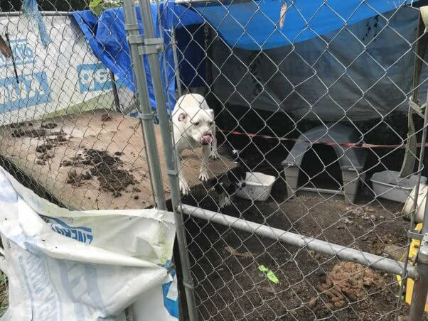 White pit bull tethered to chain link fence