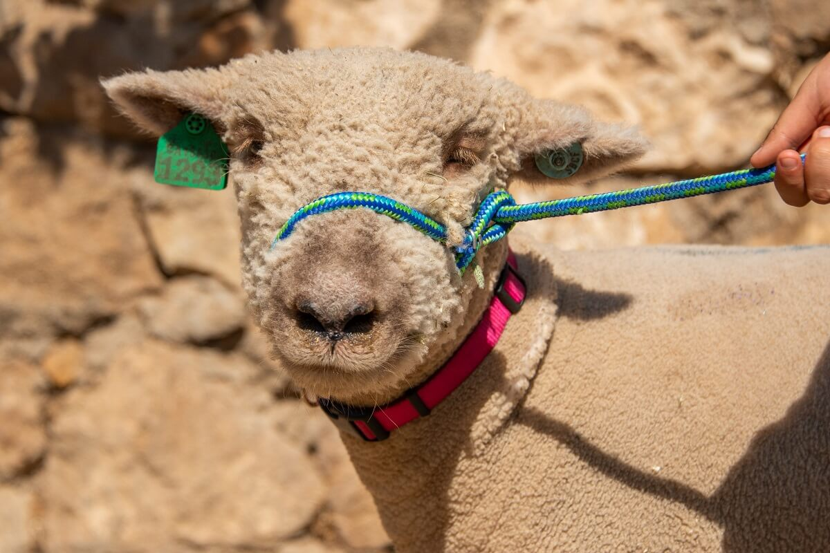 Teachkind Rescue Stories Songwriter And Student Save Lamb