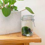 Give Bettas A Break Make A Cute Moss Ball Terrarium Peta