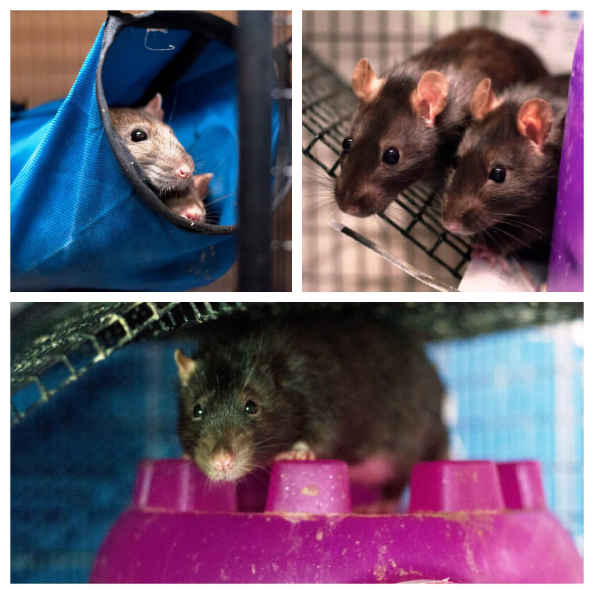 Teachkind Rescue Stories Rescued Rats Find New Home
