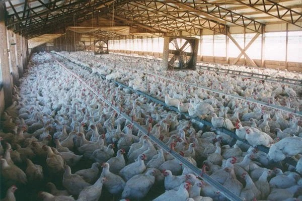Image result for factory farm chicken