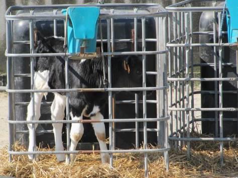 veau lait cage