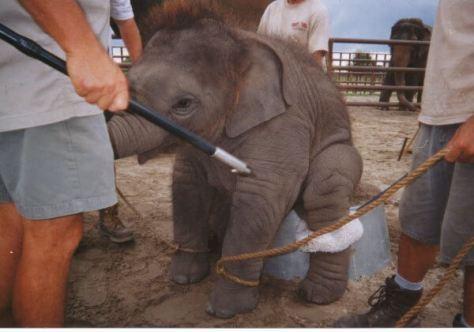 bébé élephant dressage cirque