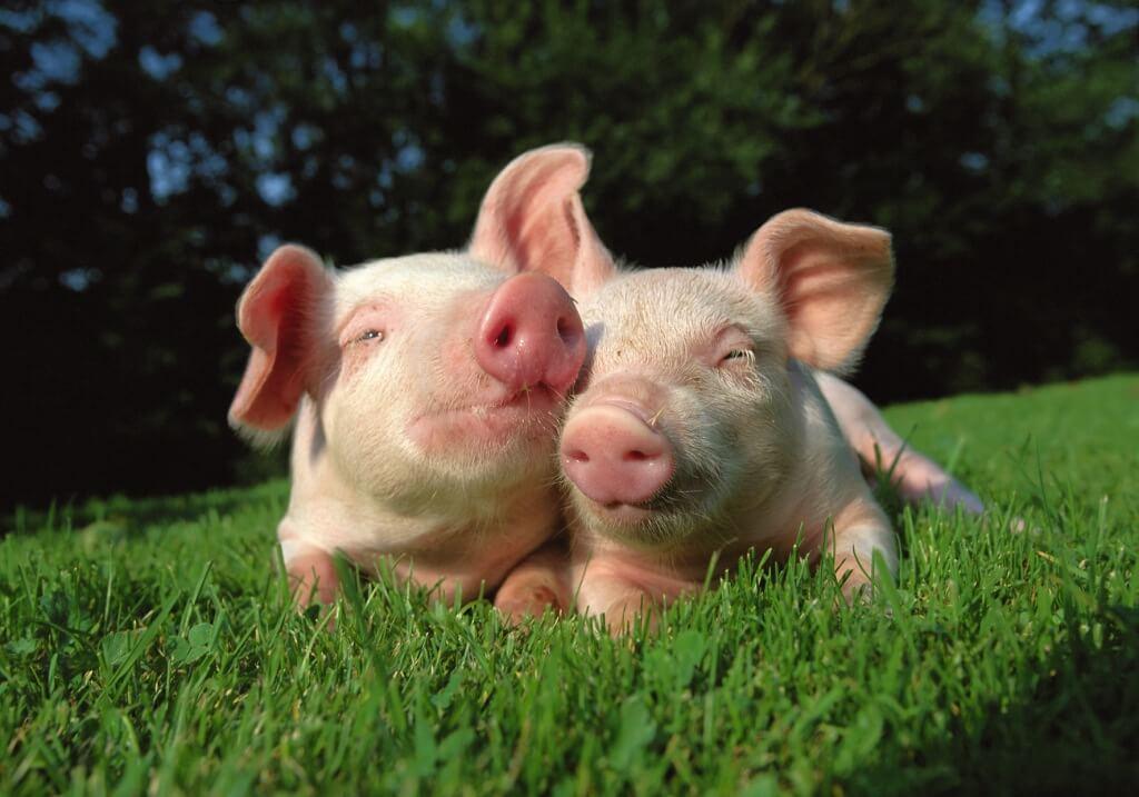 Resultado de imagen para cerdo llorando