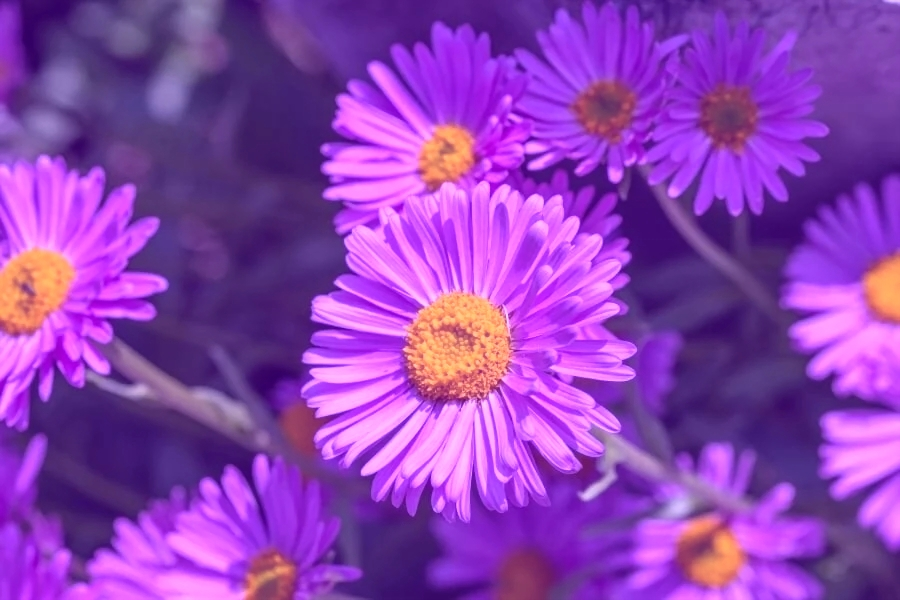 100 Stunning Purple Flowers (Types and Growing Tips ...