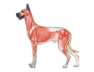 Canine Muscular System Diagram