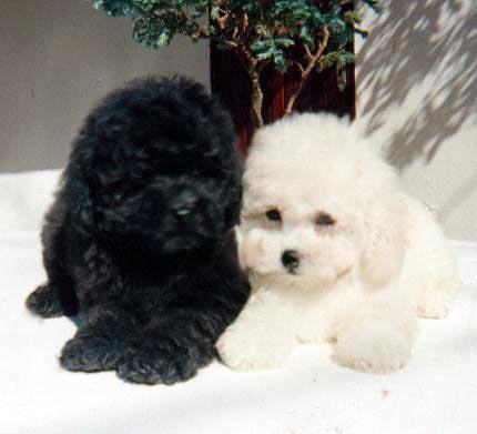 https://i2.wp.com/www.petbr.com.br/imagens/Poodle/Poodle05.jpg