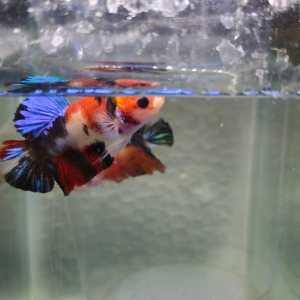 Multiclour Koi Plakat Betta Fish