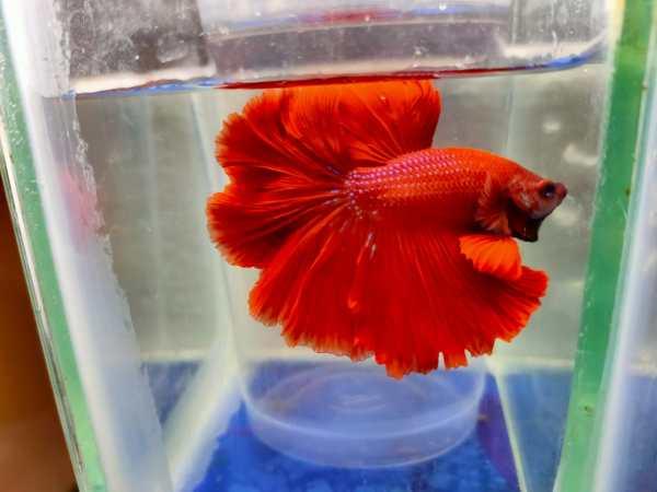 red ohm betta fish