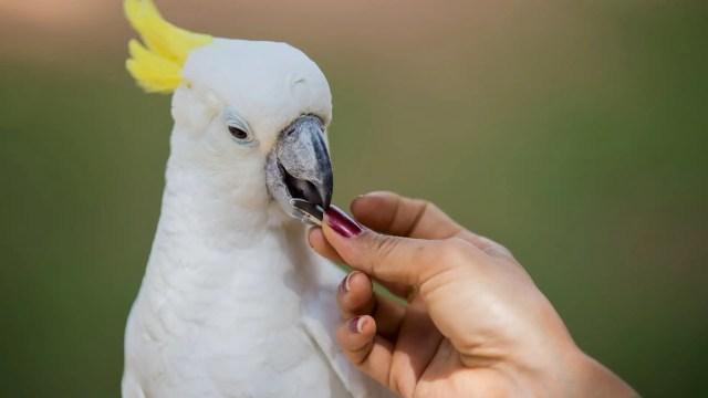 Cockatoo Eat seeds