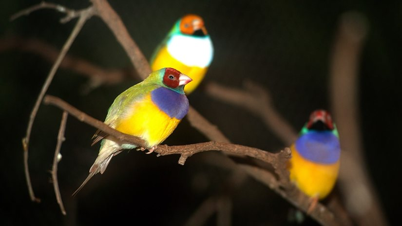 Most Popular Types Of Finches