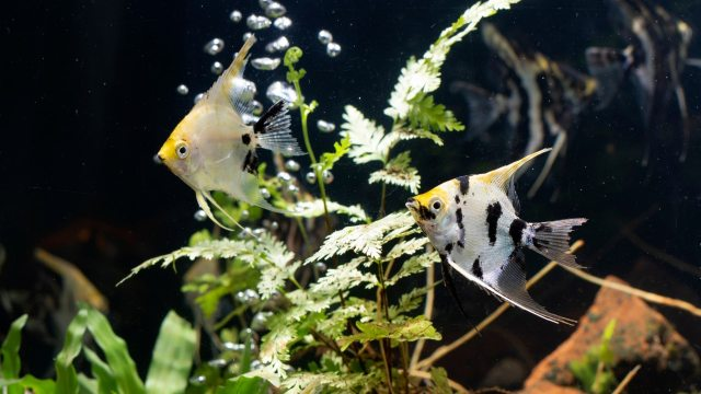 Best Fish Food For Angelfish