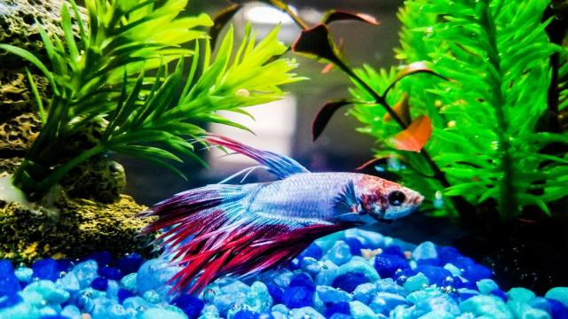 breed betta fish