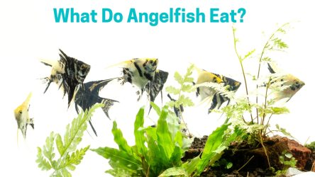 What Do Angelfish Eat? Best Food For Rapid Growth