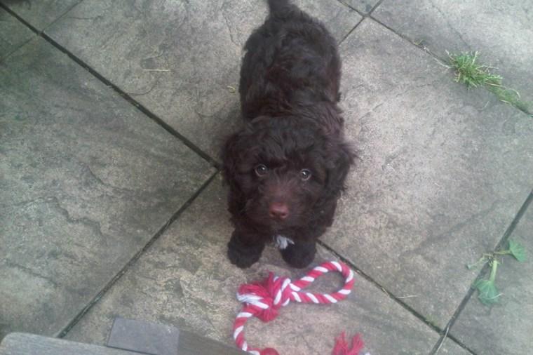 Marley - Puppy Training Classes Bermondsey