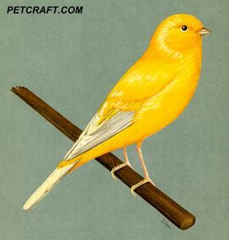 Yellow Border Fancy Canary
