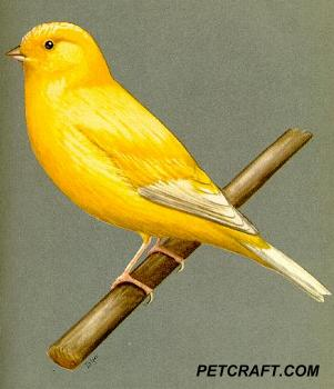 Plain Head Clear Buff Norwich Canary