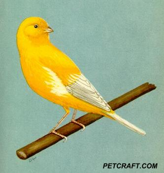 Yellow Roller Canary