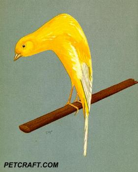 Scotch Fancy Canary