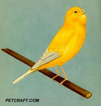 CANARY BREEDING FOR BEGINNERS! | PETCRAFT