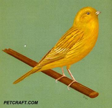 Cinnamon Chopper Canary