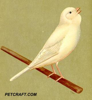 White Chopper Canary