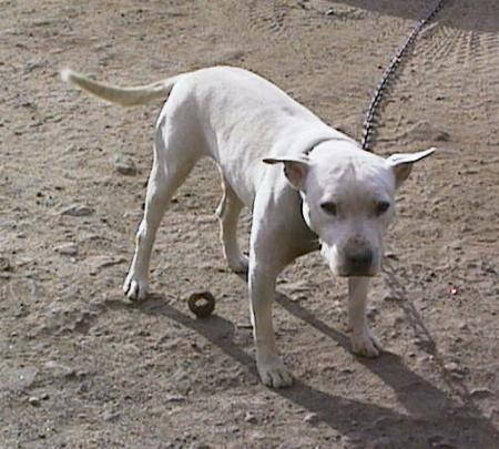 White pit bull