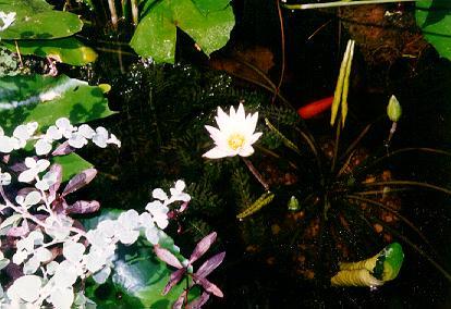 waterlillyflowergoldfishcloser