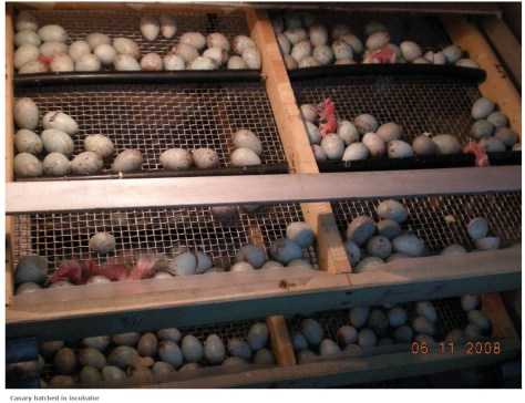 Canary eggs hatched in an incubator