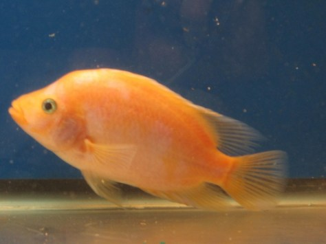 Red Devil Cichlids -- For Sale