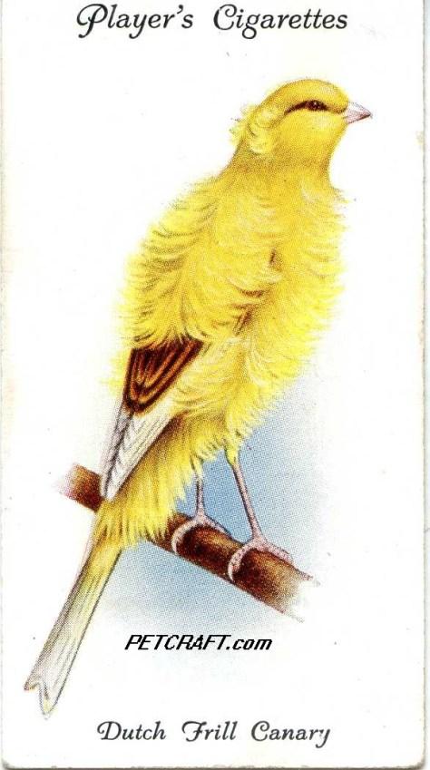 Dutch Frill Canary — AVIARY AND CAGE BIRDS UK CARDS (1933)