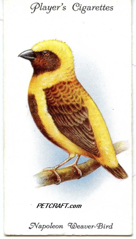 Napoleon Weaver-Bird — AVIARY AND CAGE BIRDS UK CARDS (1933)
