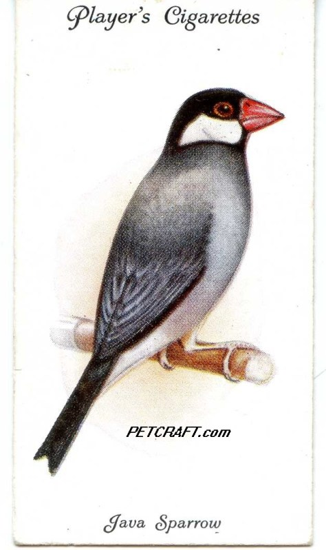 JAVA SPARROW — AVIARY AND CAGE BIRDS UK CARDS (1933)