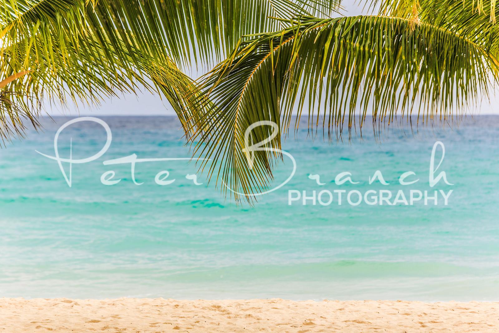 Coconut trees love Barbados.