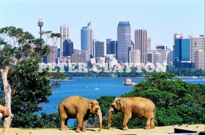 AUSTRALIA  - SYDNEY - TARONGA ZOO ELEPHANTS R4