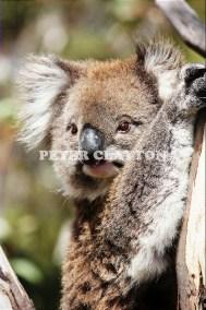 KOALA AUSTRALIA R4  (5)
