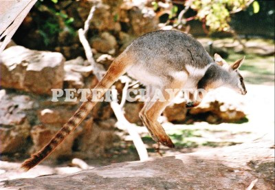 YELLOW FOOTED ROCK WALLABY - AUSTRALIA #1 R4