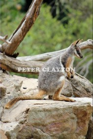 YELLOW FOOTED ROCK WALLABY - AUSTRALIA #3  R4