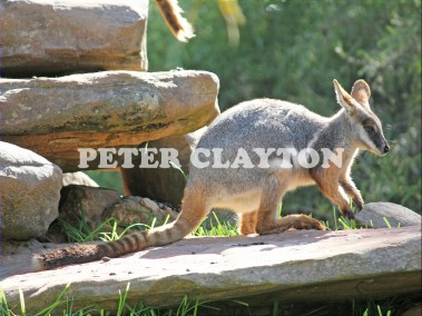YELLOW FOOTED WALLBY - AUSTRALIA #2  R5