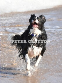 BORDER COLLIE #1 R5