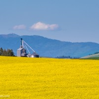 Tracking Down a Canola Field